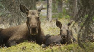 Two Moose laying in the woods Nature Show Image