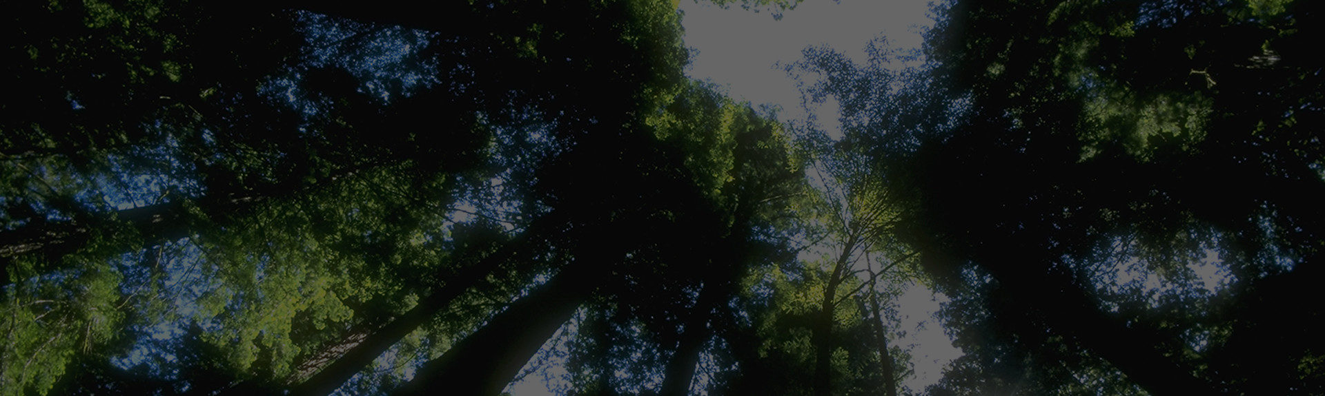 Image of tall trees