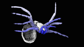X-ray-based reconstruction of the spiderlike arachnid Idmonarachne brasieri. Photo courtesy of Garwood RJ et al., Proc. R. Soc. B, (2016)